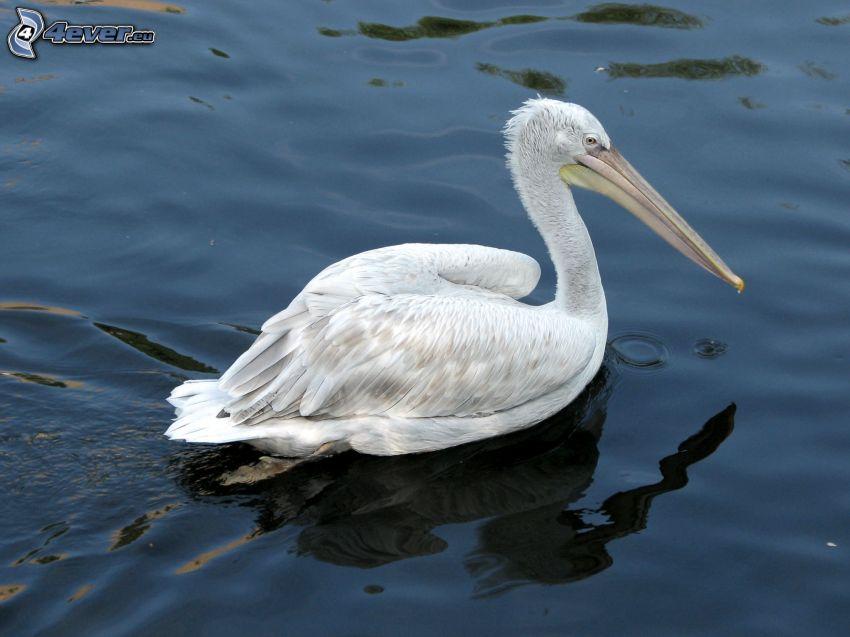 Pelikan, Wasser