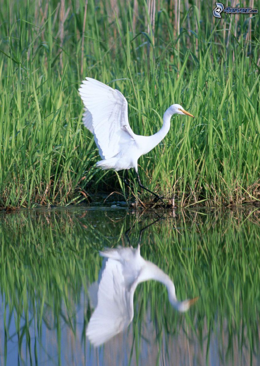 Reiher, Flügel, Wasser, Spiegelung