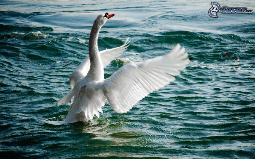 Schwan, Flügel, Wasser