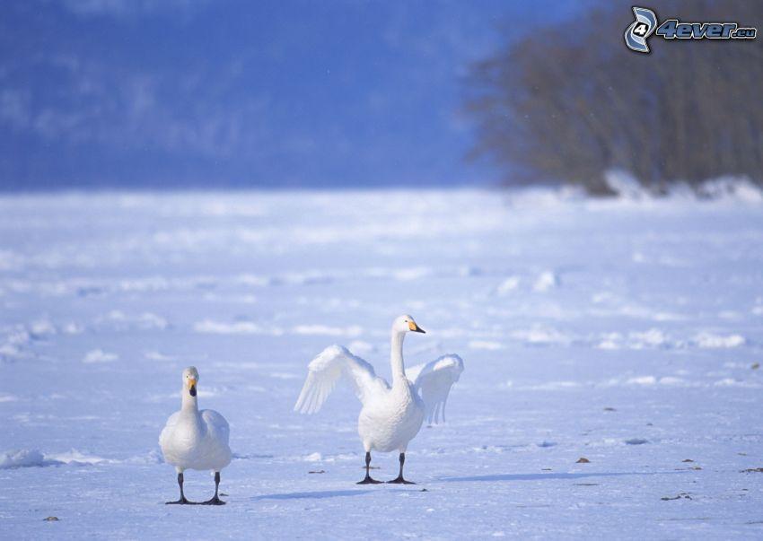 Schwäne, Flügel, Schnee