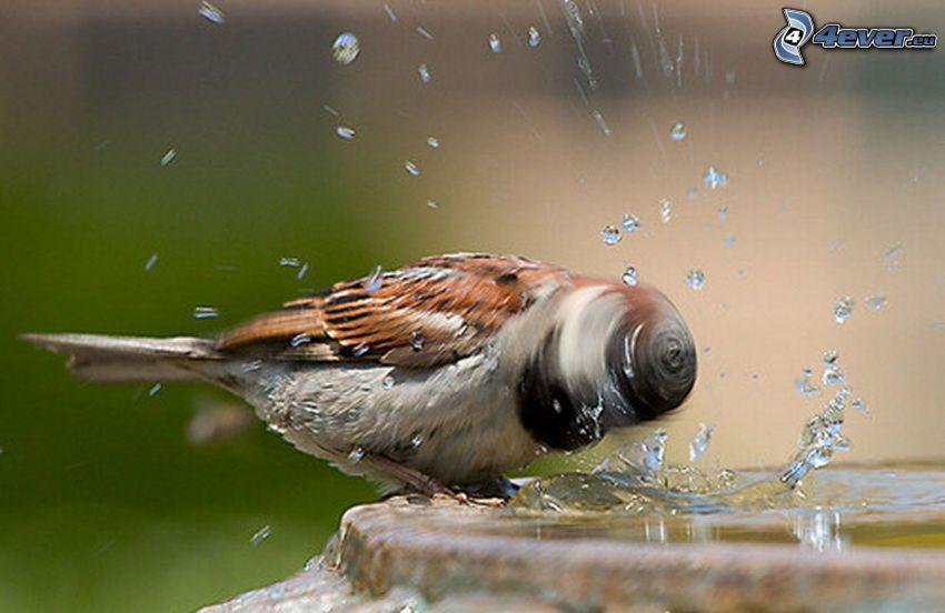 Spatz, Wasser