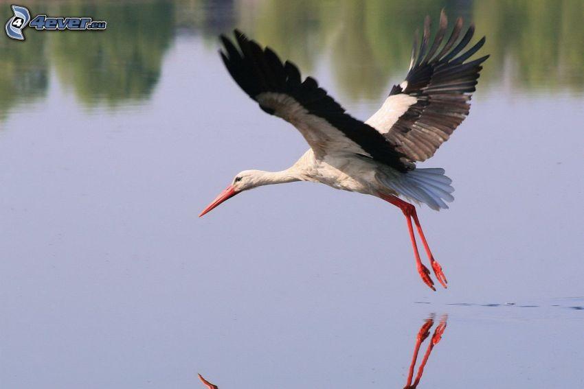 Storch, Wasser