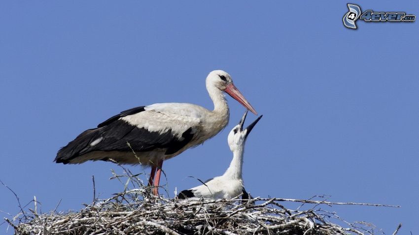 Störche, Jungtier, Nest