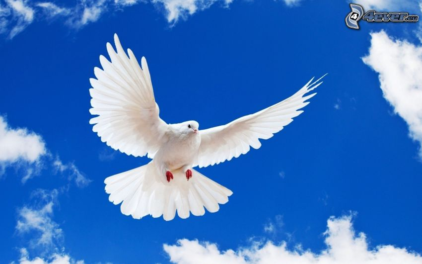 Taube, Flügel, Himmel