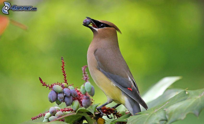 Vögel, Beeren