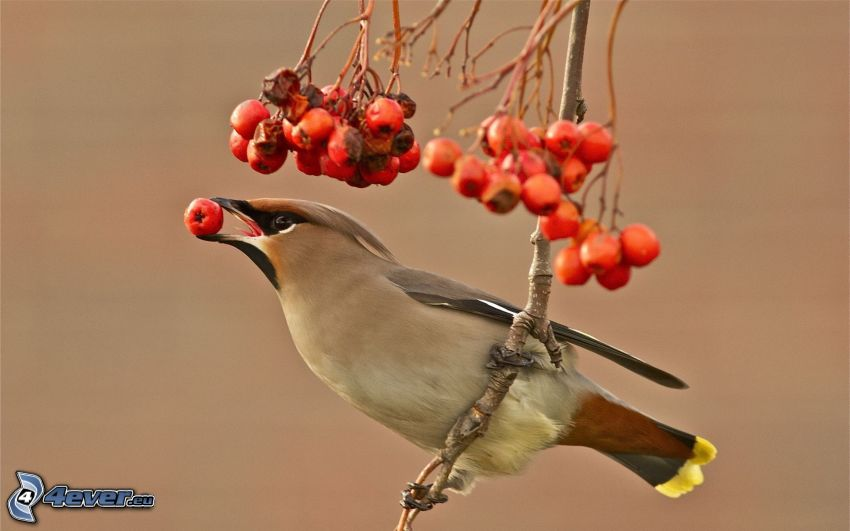 Vögel, Eberesche