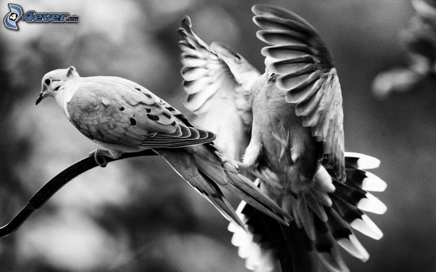 Vögel, Flügel, schwarzweiß