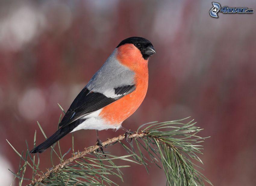 Vögel, Nadelästchen
