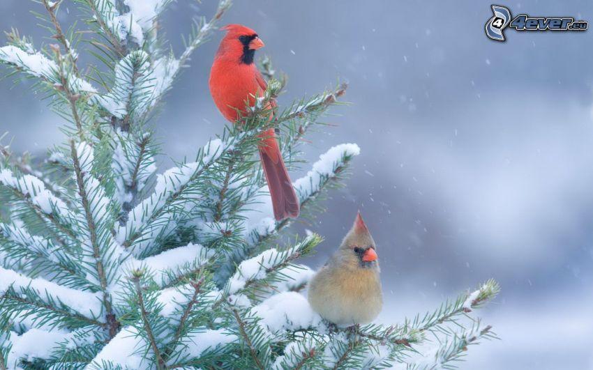 Vögel, verschneiter Nadelbaum