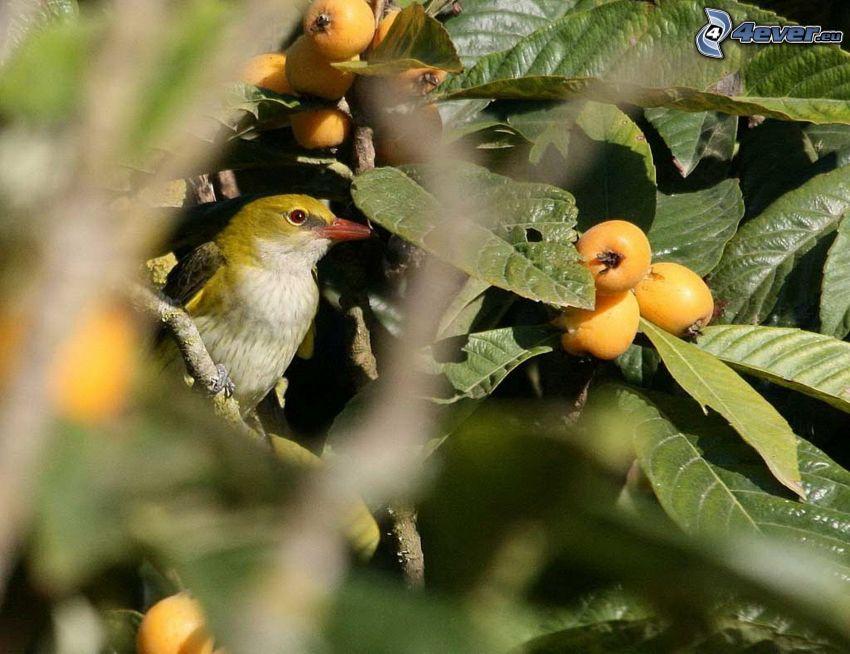 Vogel auf einem Zweig, Beeren