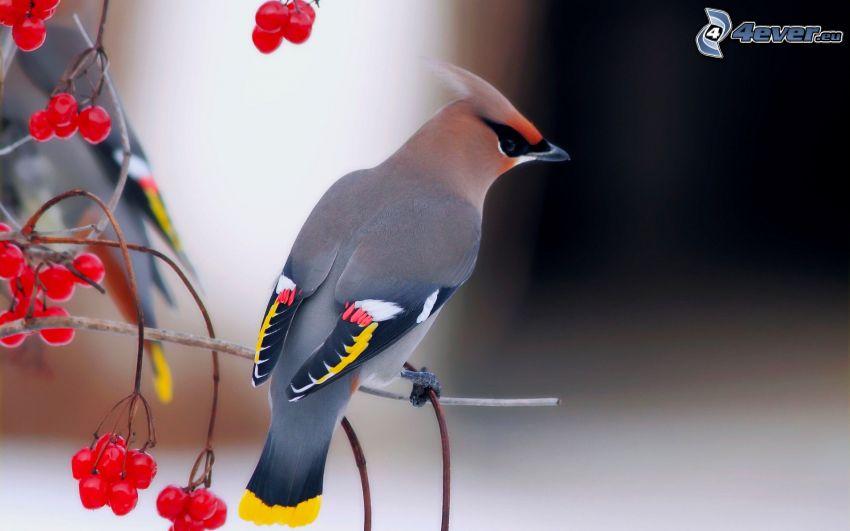Vogel auf einem Zweig, Eberesche