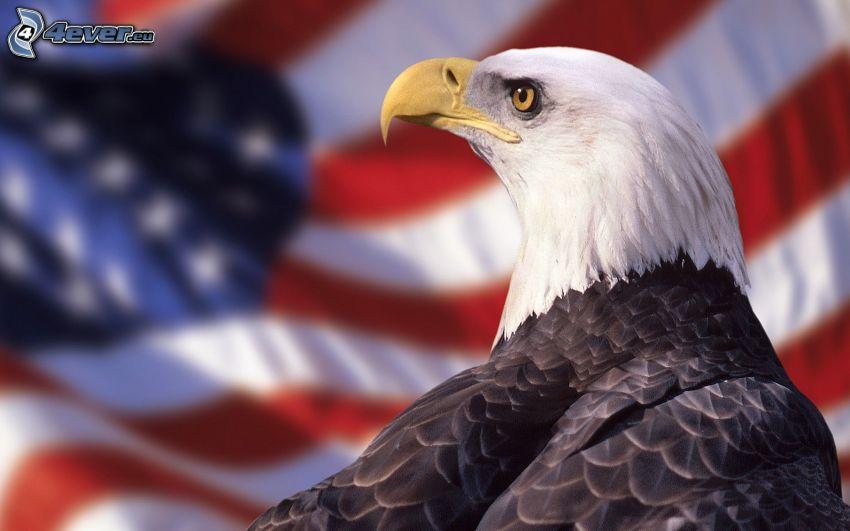 Weißkopfseeadler, amerikanische Flagge