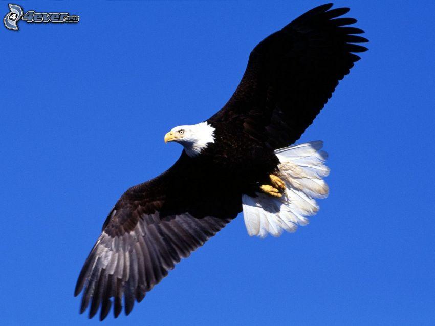 Weißkopfseeadler, Flug, Flügel, blauer Himmel