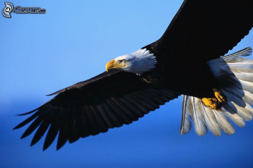 Weißkopfseeadler, Flug, Flügel