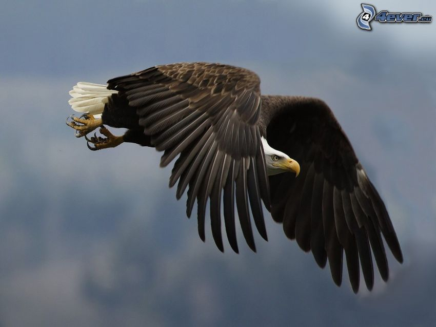 Weißkopfseeadler, Flügel, Flug