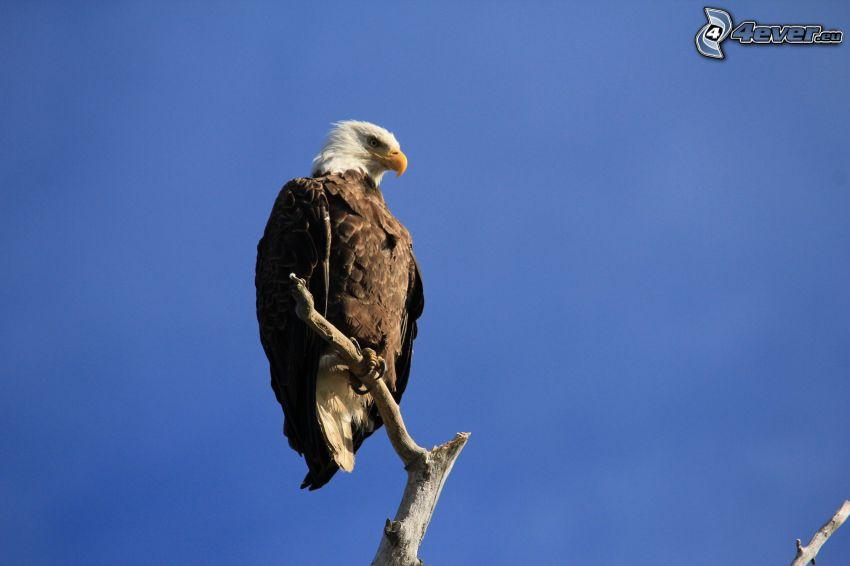 Weißkopfseeadler, Holz, blauer Himmel