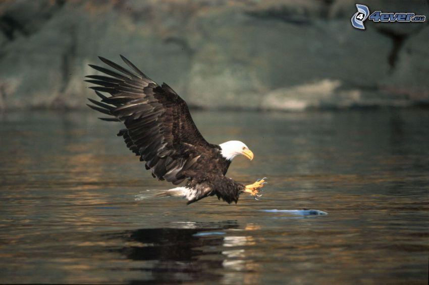 Weißkopfseeadler, Jagd, Fisch