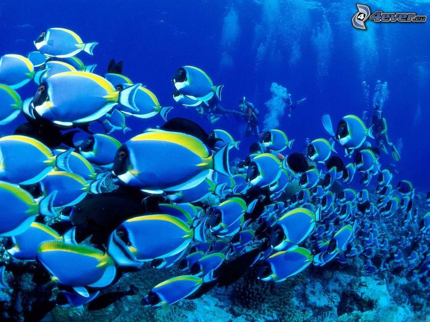 blaue Fische, Korallenfische, Taucher