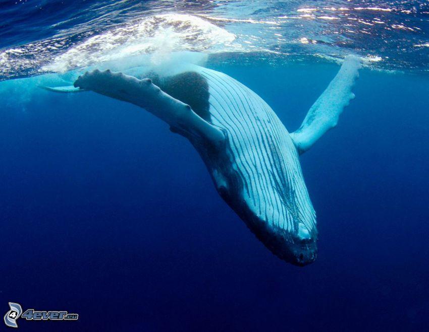 Blauwal, Meer