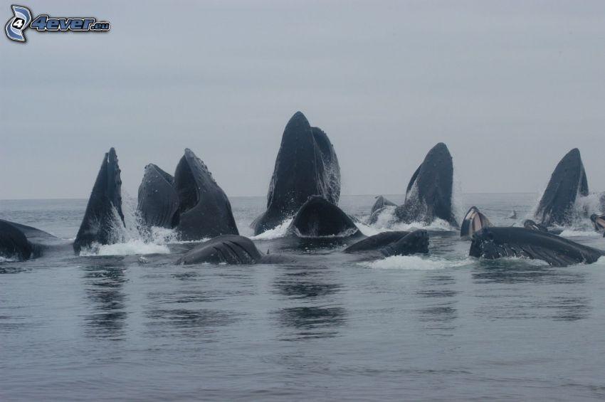 Blauwal, Wale