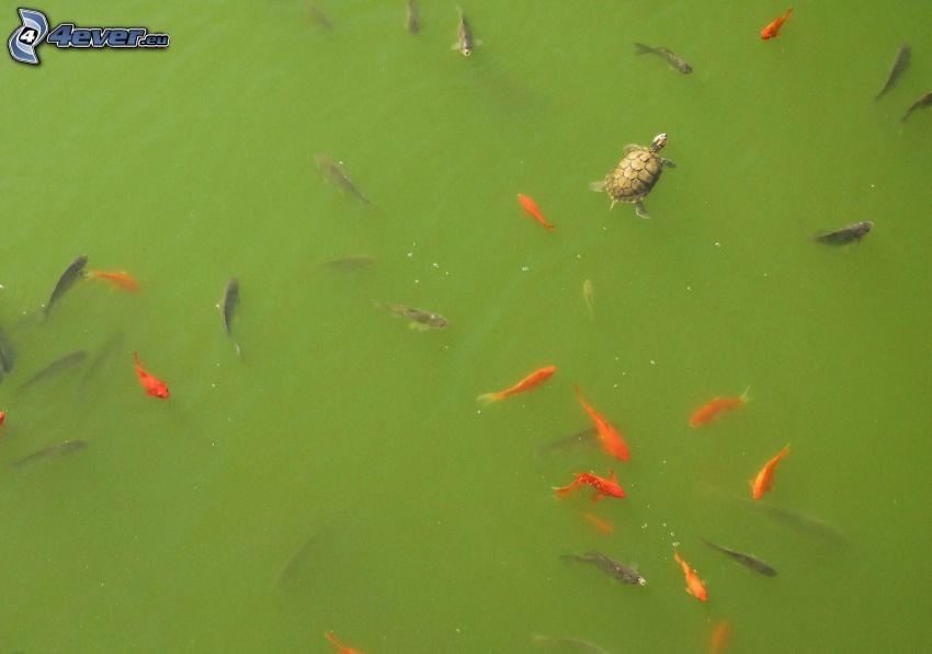 Fische, Schildkröte, grünes Wasser