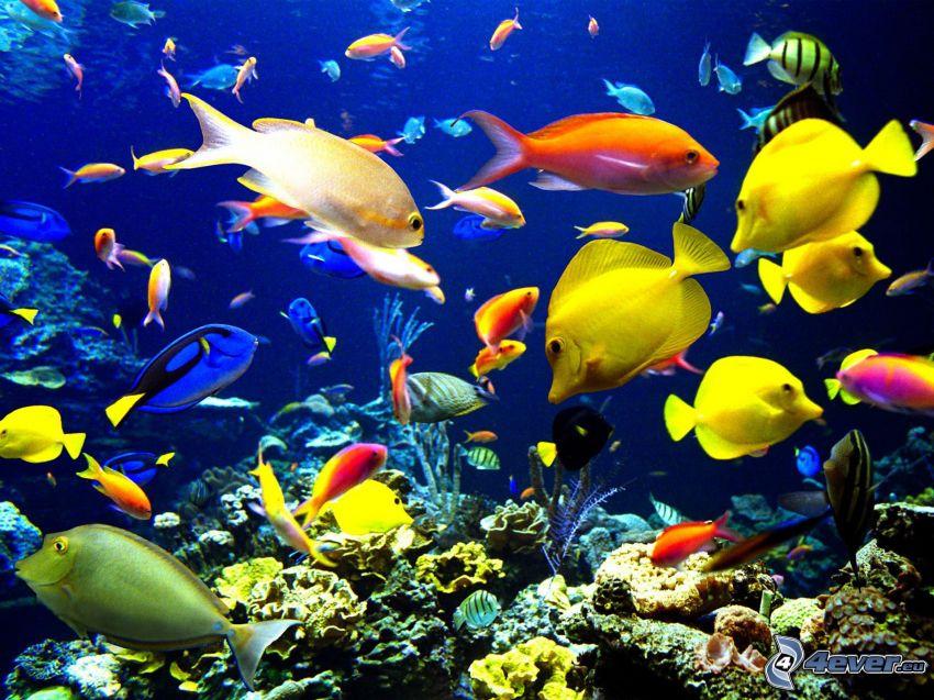 Fische bei den Korallen, Korallenfische