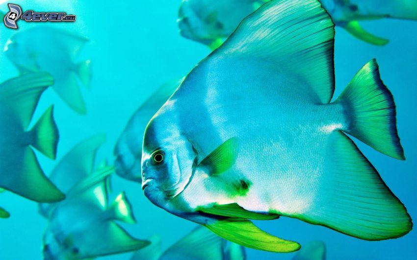 Fischschwarm, blaue Fische