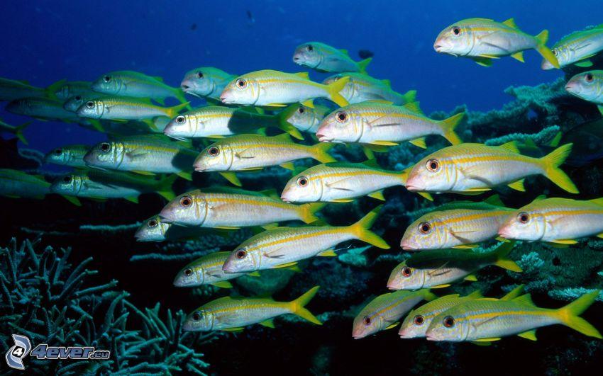 Fischschwarm, Korallen