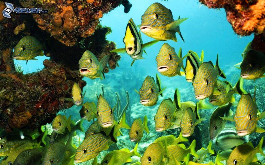 Fischschwarm, Korallenfische