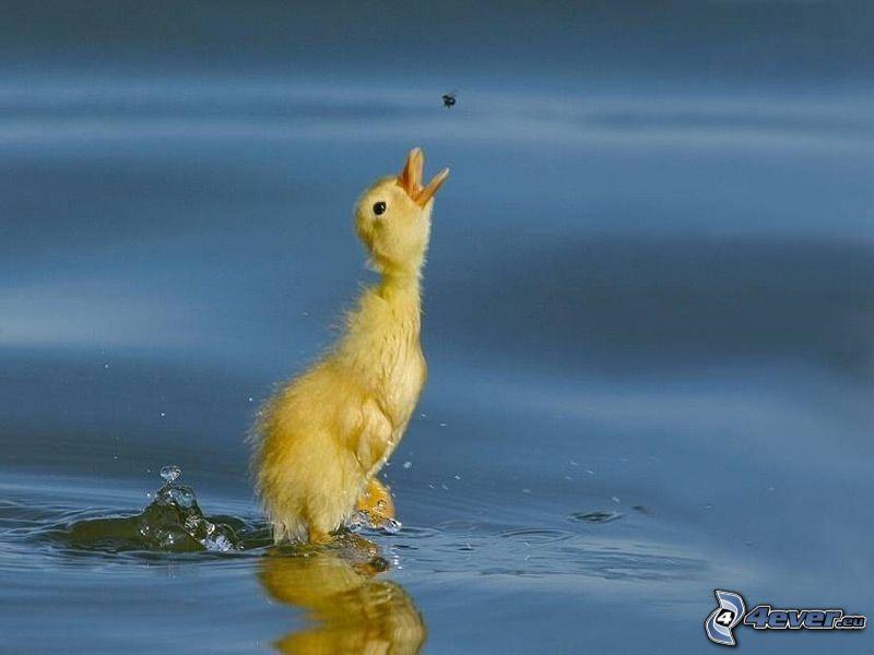 kleine gelbe Gänschen, Wasser, Nahrung, Fliege