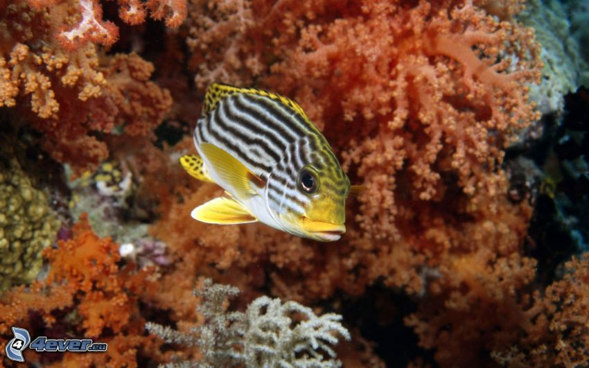 Korallenfisch, Korallen