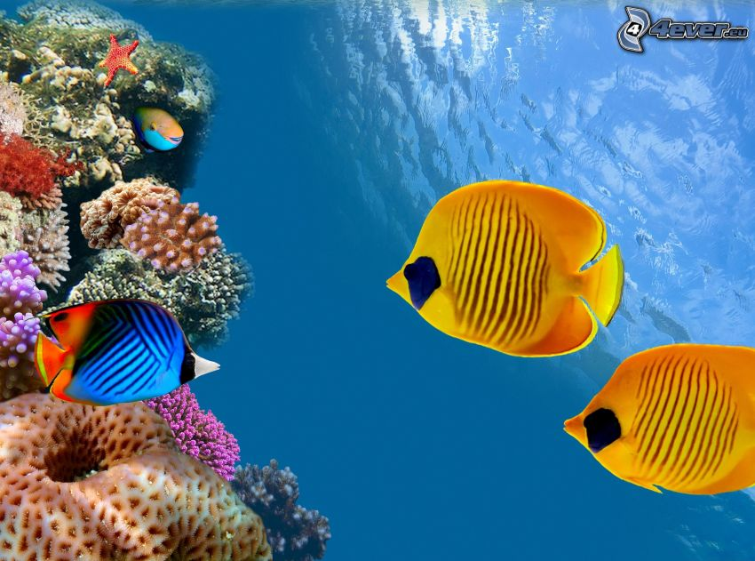 Korallenfische, gelbe Fische, Korallen