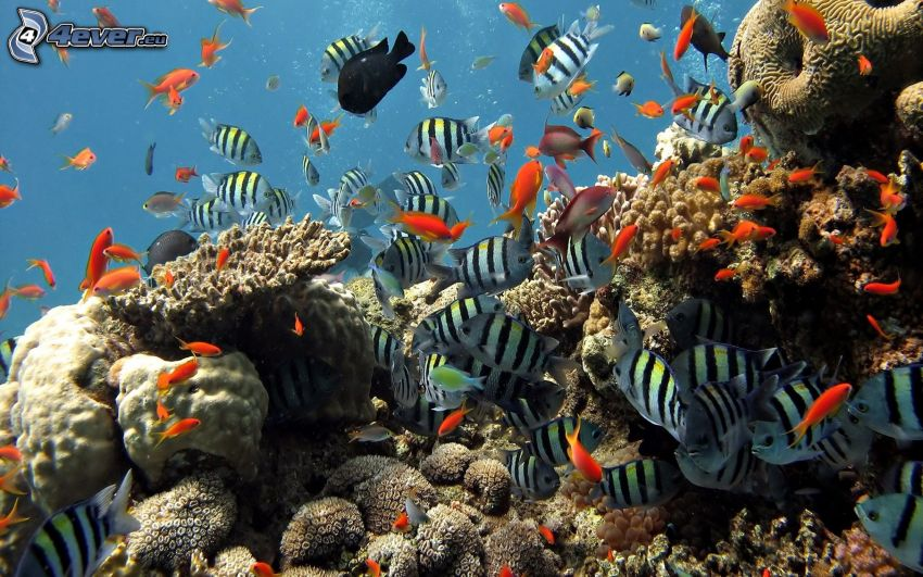 Korallenfische, Korallen