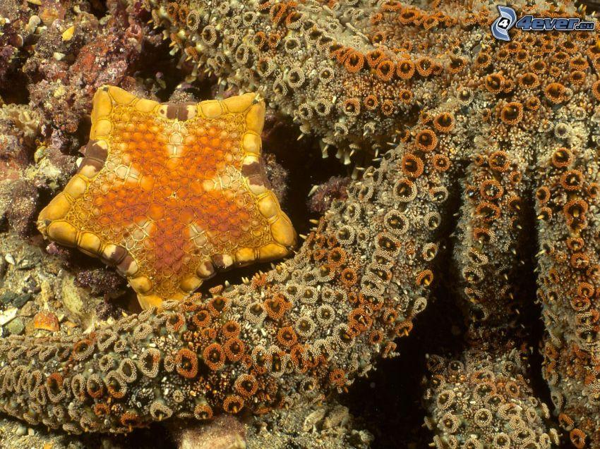Seestern, Korallen