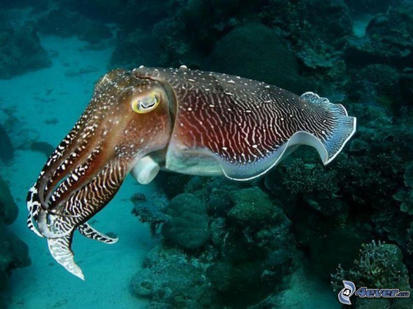 Tintenfisch, Meeresboden