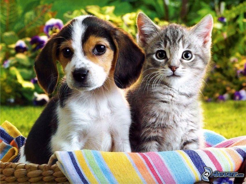Welpen und Kätzchen, Beagle Welpe, kleines graues Kätzchen, Korb