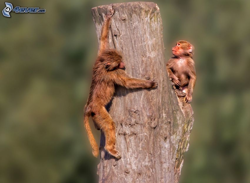 Affen, Stamm