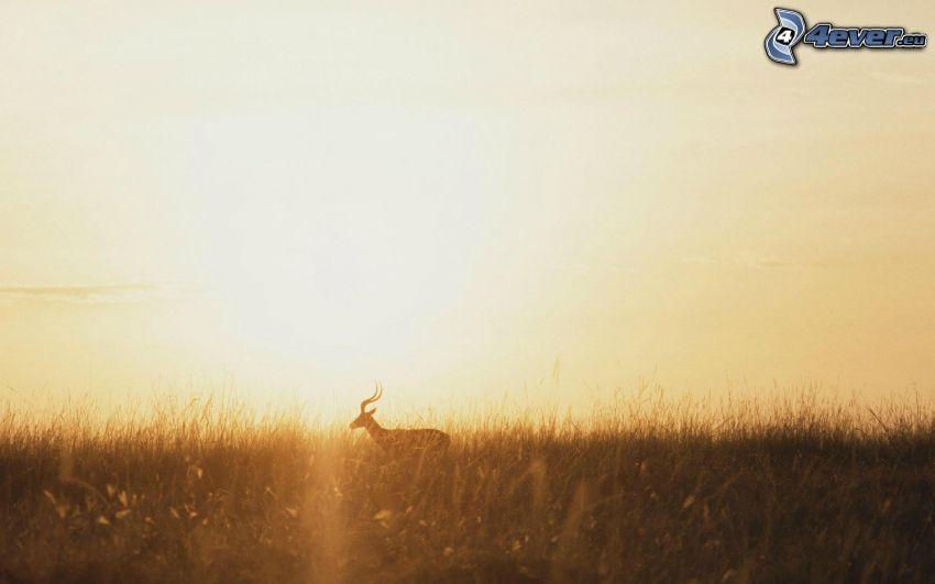 Antelope, Gras, Sonnenuntergang in der Savanne