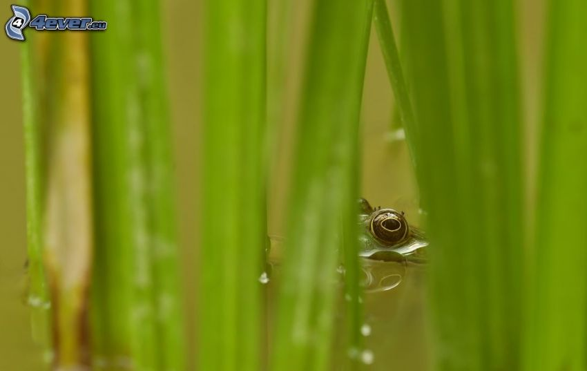 Auge, Frosch, Blätter, Wasser