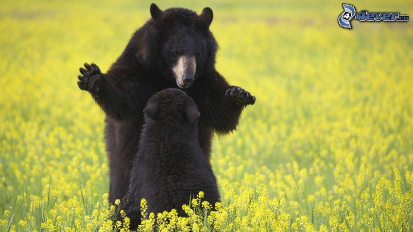Bären, Feld