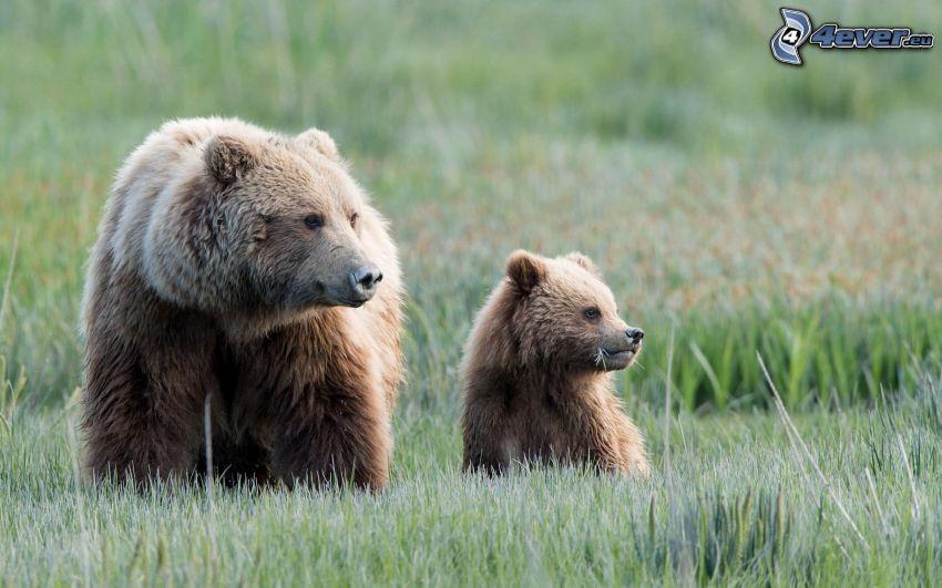Bären, Jungtier