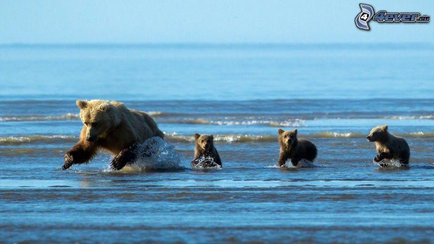 Bären, Jungtiere, Meer