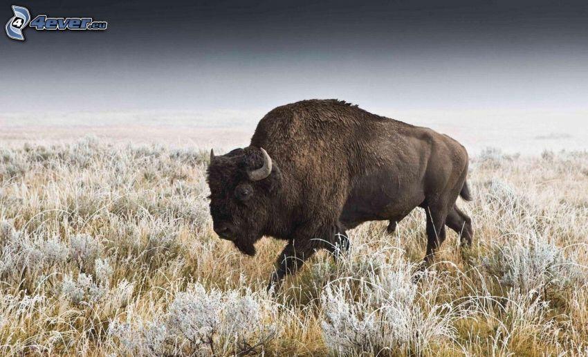 Bison, gefrorenes Gras