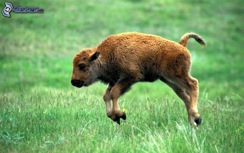 Bison, Jungtier, Sprung, Gras
