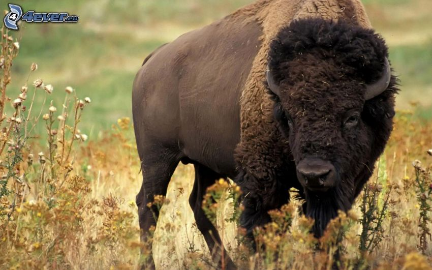 Bison, trockenes Gras, Feldblumen