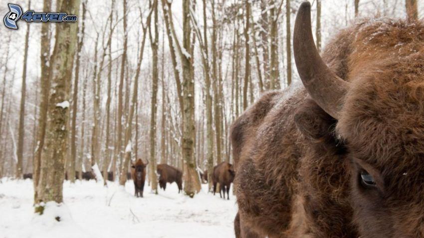 Bison, verschneiter Wald