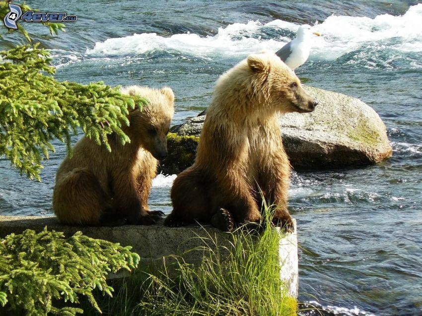 braunbären, Grizzlybär, Fluss, Wasser, Möwe
