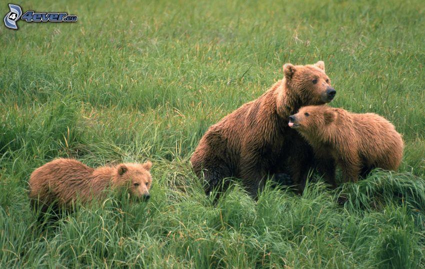 braunbären, Jungtier, Gras