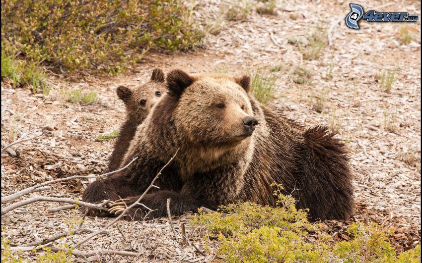 braunbären, Jungtier