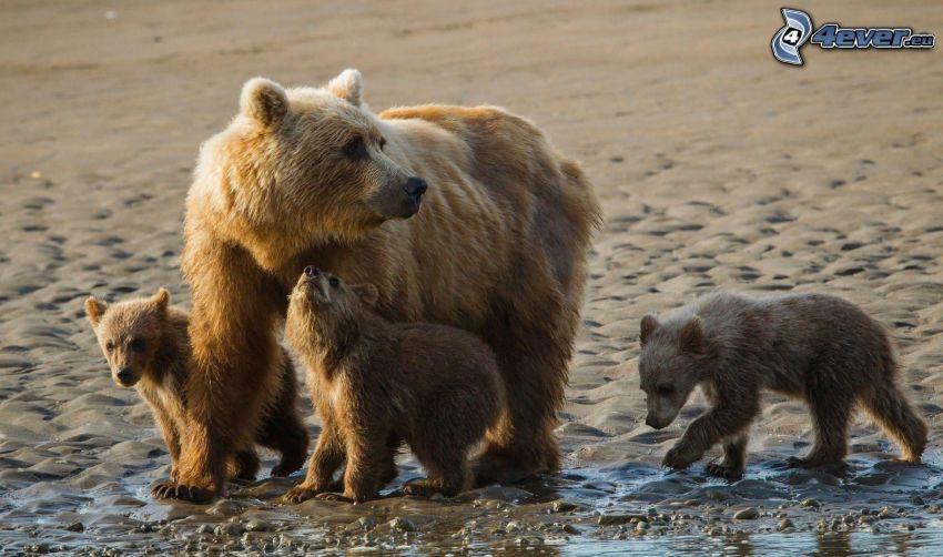 braunbären, Jungtiere, Sandstrand